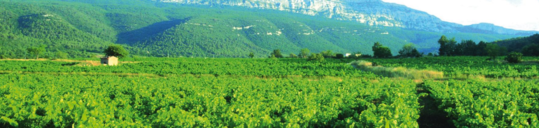 vignerons de la ste baume vigne copie